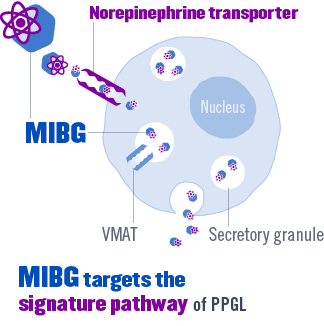 MIBG targets the signature pathway of PHEO/PGL, the norepinephrine transporter.